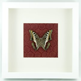 Butterflies and Moths The Giant Emperor (verso)