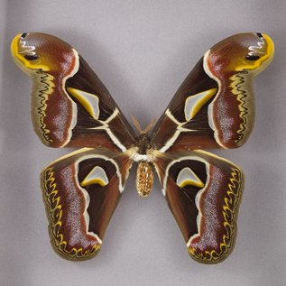 Butterfly Art Edward's Atlas Moth