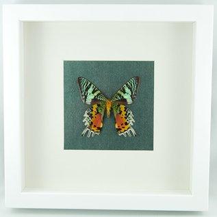 Butterflies and Moths Madagascar Sunset Moth (verso)
