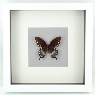 Butterfly Art The Spicebush Swallowtail