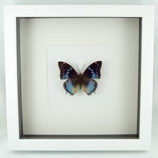 Butterflies and Moths The African Bluewing