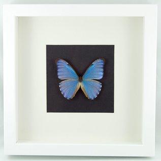 Frame The Aurora Morpho