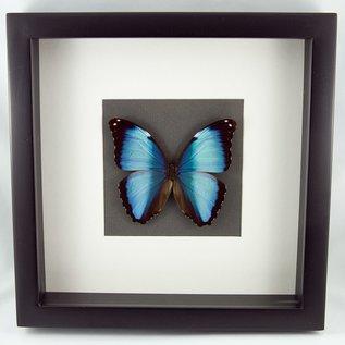 Frame The Deidamia Morpho