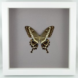 Butterfly Art Central Emperor Swallowtail (verso)