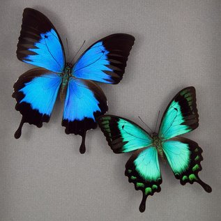 Butterfly Art Blue Mountain Swallowtail and Sea Green Swallowtail