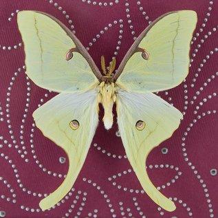 Butterflies and Moths Luna Moth