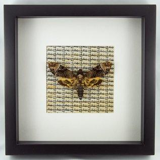 Frame Death Head Hawk Moth