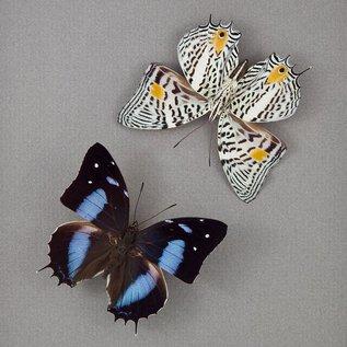 Butterfly Art The Japetus Beauty