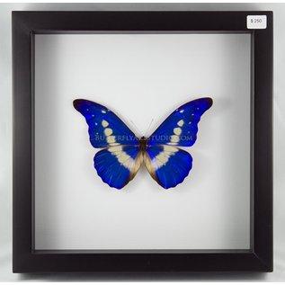Butterfly Art The Helena Morpho