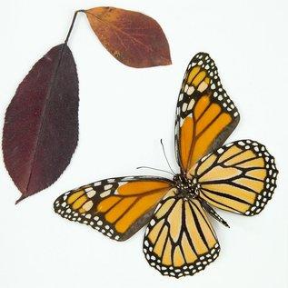 Frame Monarch