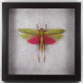 Butterflies and Moths Grasshopper
