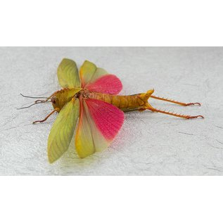 Butterfly Art Pink-winged Grasshopper