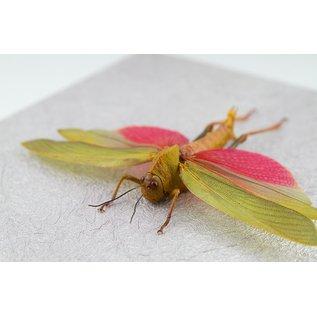 Frame Pink-winged Grasshopper