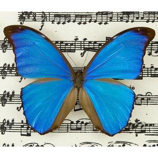 Butterfly Art The Blue Morpho