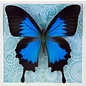 Butterfly Art The Blue Mountain Swallowtail