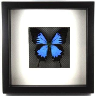 Frame The Blue Mountain Swallowtail
