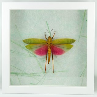 Butterfly Art Pink-winged Grasshopper