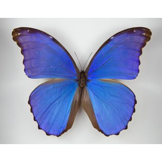 Butterfly Art Morpho didius