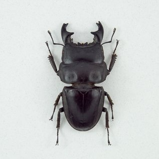 Butterfly Art Stag Beetle