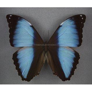 Butterfly Art The Deidamia Morpho