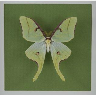 Butterfly Art Luna Moth