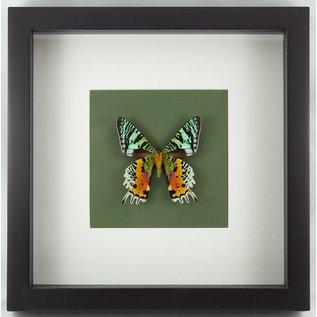 Butterfly Art Madagascar Sunset Moth (verso)