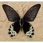 Butterfly Art The Priapus Batwing