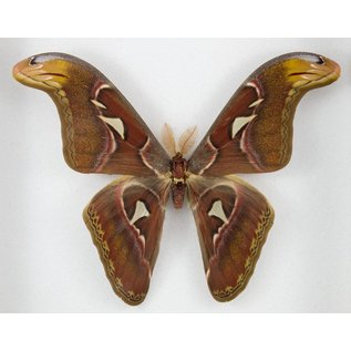 Butterfly Art Atlas Moth