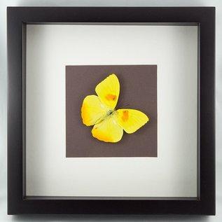 Butterfly Art Orange-barred Sulphur