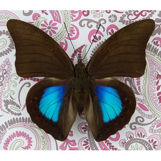 Butterfly Art Norepa chromus