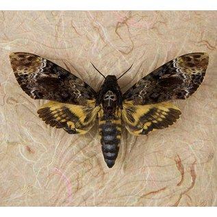 Butterfly Art Death Head Hawk Moth - FEMALE