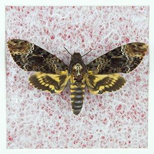 Butterfly Art Death Head Hawk Moth