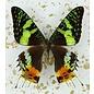 Butterfly Art Madagascar Sunset Moth