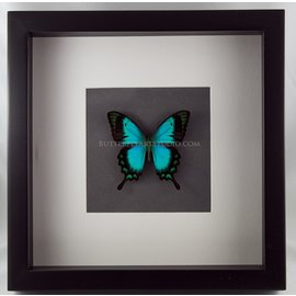 Butterfly Art The Sea Green Swallowtail