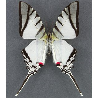 Butterfly Art Zebra Swallowtail