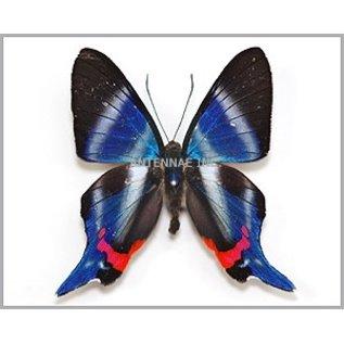 Riodinidae Rhetus periander M A1 Peru