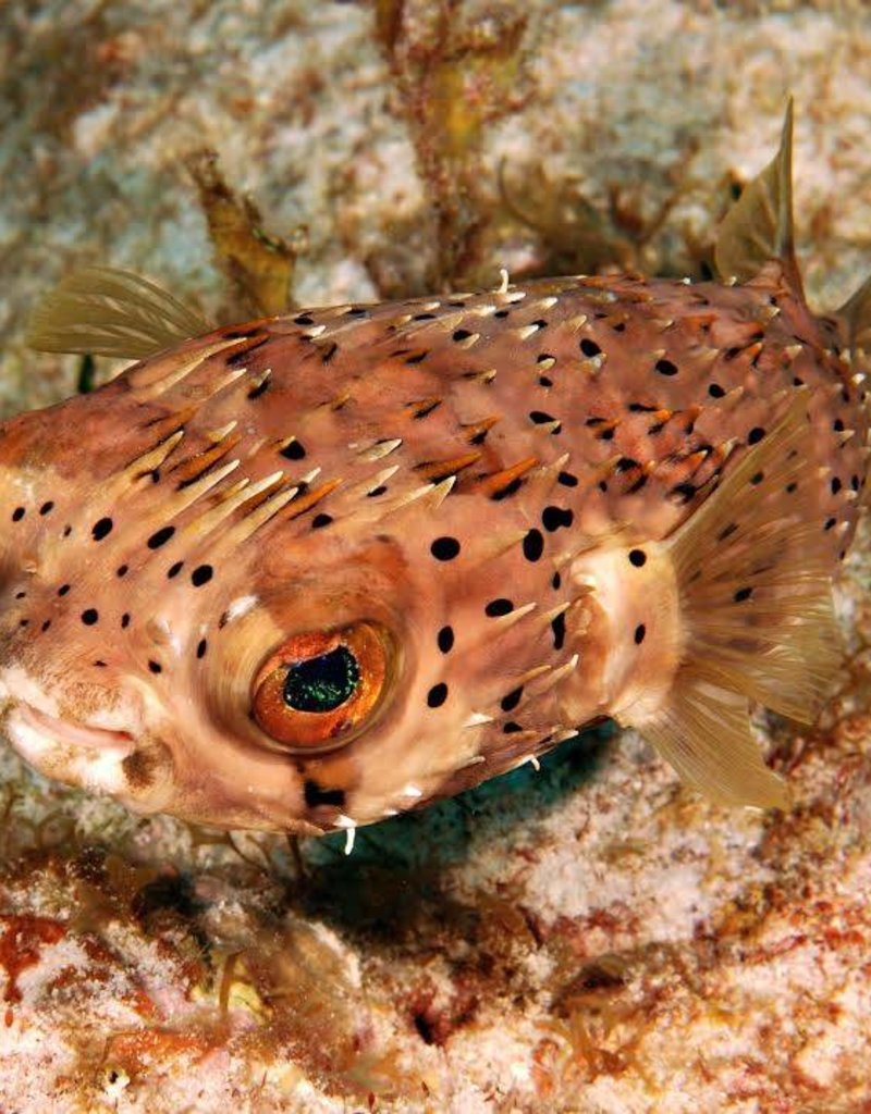 Purl Diver Collection PUFFER FISH