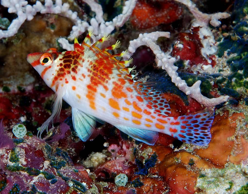 Purl Diver Collection Hawkfish Cosette