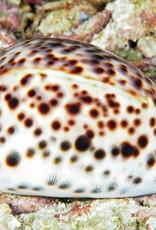 Purl Diver Collection Tiger-Sanibel