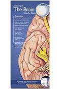 Pocket Study Guide - Brain