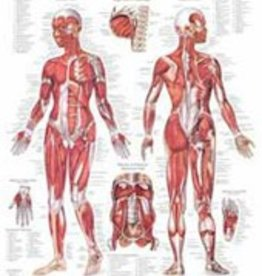 Laminated Muscular System Chart Female