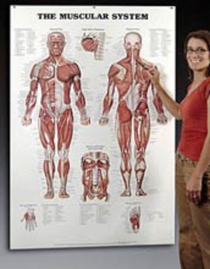 "GIANT Muscular Chart 42"" x 62"
