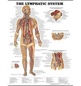 Laminated Lymphatic System Chart