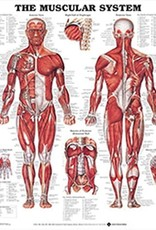 Laminated Muscular System Chart