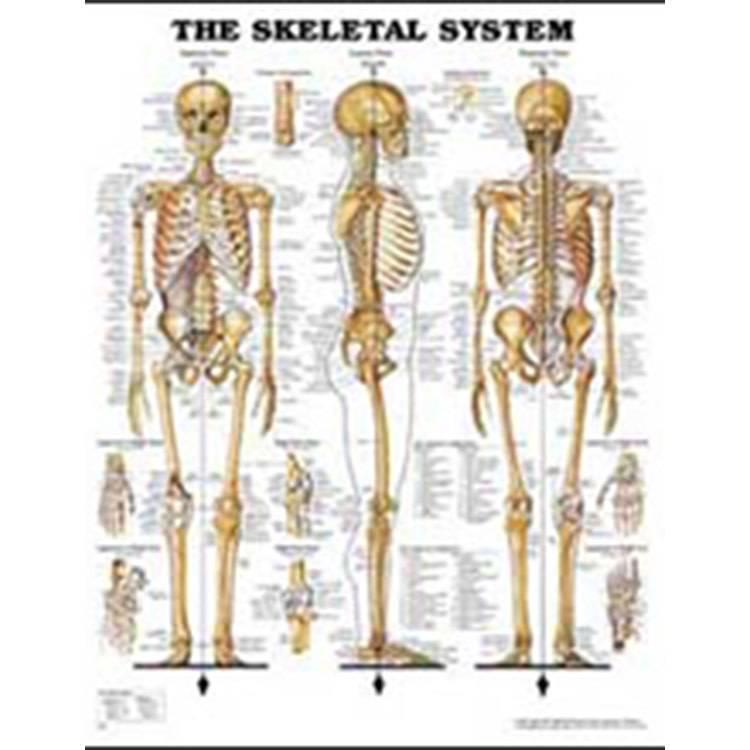 Laminated Skeletal System Chart