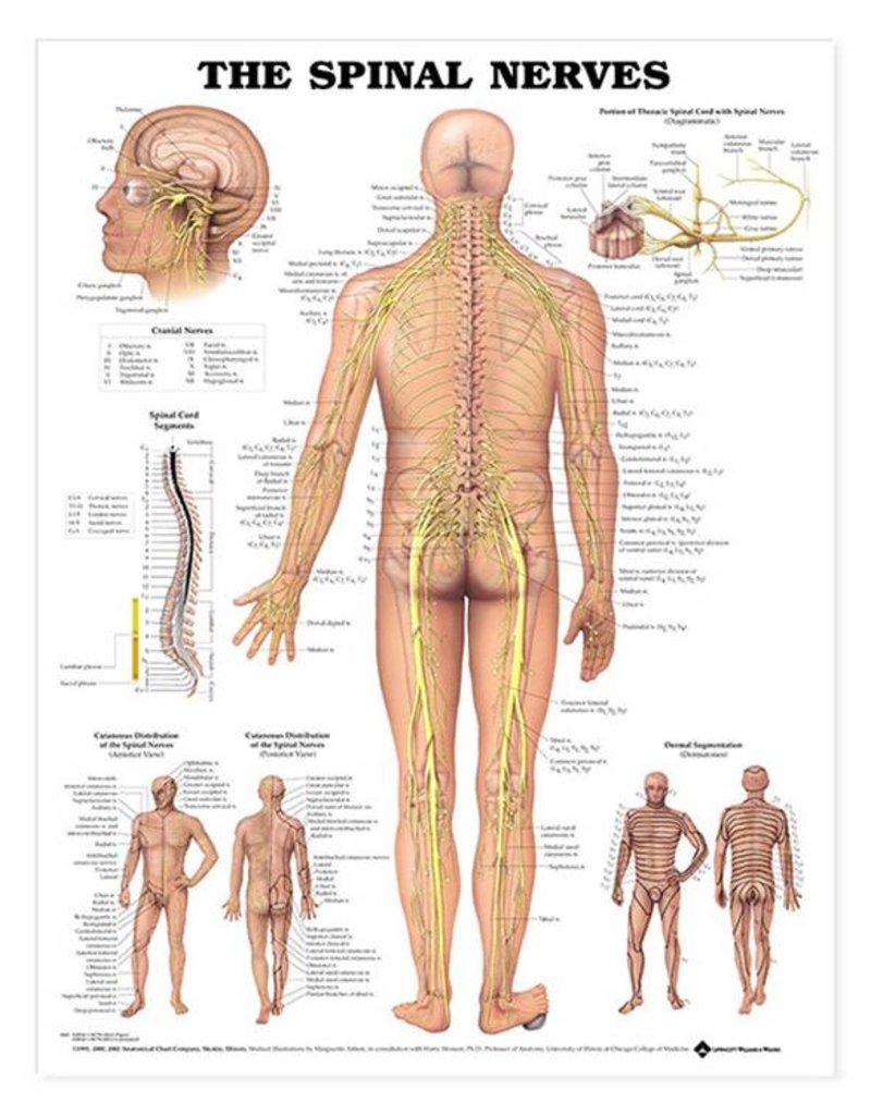 Laminated Spinal Nerves Chart