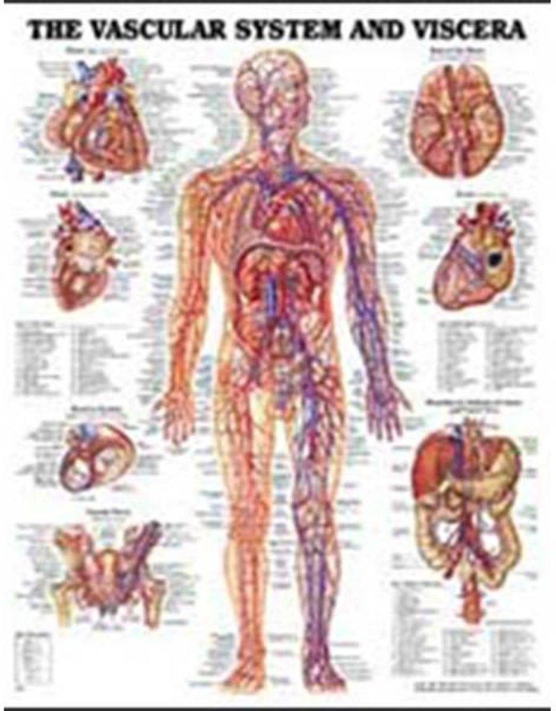 Laminated Vascular & Visceral Chart