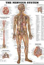 Laminated Nervous System Chart