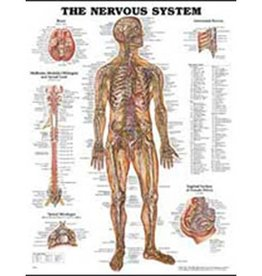 Laminated Nervous System Chart