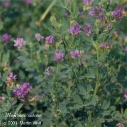 Alfalfa  powder  wildcrafted  herb 2oz.